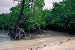 Mangrovia su una spiaggia Fotografia Stock