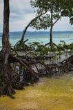 Mangrovia sulla spiaggia Immagini Stock Libere da Diritti