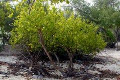 Mangrovie Fotografie Stock