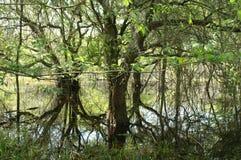 Mangrovie Immagini Stock