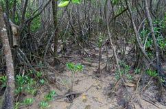 Mangrovie nella baia di Gesashi, Okinawa Fotografie Stock Libere da Diritti