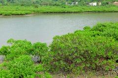 Mangrovie rosse fotografie stock