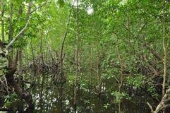 Mangrovie a Zanzibar Fotografia Stock Libera da Diritti
