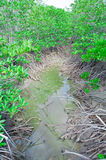 Mangrowe obraz royalty free