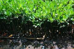 mangrowe Fotografia Stock