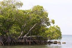 mangrowe Obraz Stock