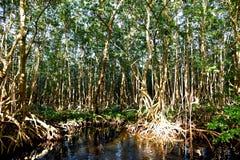 mangrowe Zdjęcie Stock