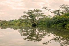 Mangrowe drzew odbicie Na jeziorze Obraz Royalty Free