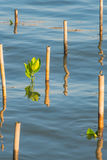 Mangrowe flanca w wodzie przy namorzynowym lasem Zdjęcia Royalty Free