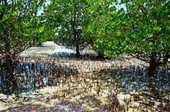 Mangrowe i niski przypływ, Zanzibar Fotografia Stock