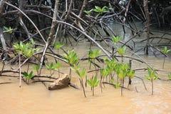 mangrowe kiełkuje drzewa Zdjęcie Stock