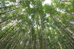 Mangrowe lasowi Fotografia Stock