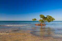 Mangrowe przy karaibskim seashore, Cayo Jutias plaża, Kuba Fotografia Royalty Free