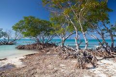 Mangrowe przy karaibskim seashore, Kuba Zdjęcie Stock