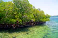 Mangrowe przy nadmorski Zdjęcia Stock