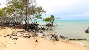 Mangrowe przy plażą Cayo Jutias Zdjęcie Stock