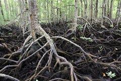 Mangrowe reforest Obraz Royalty Free