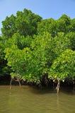 Mangrowe reforest Zdjęcia Royalty Free