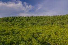 Mangrowe reforest Fotografia Stock