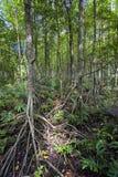 Mangrowe reforest Obrazy Stock