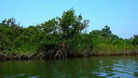Mangrowe w Chaung Tha, Myanmar zbiory