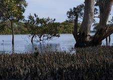mangrowe obrazy stock