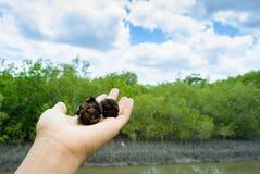 Mangrowe ziarno na ręce przy namorzynowym lasem Obrazy Stock