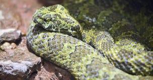 Mangshan Pit Viper Trimeresurus mangshanensis Stock Images
