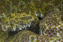 Mangshan pitviper / Protobotrops mangshanensis Royalty Free Stock Photos