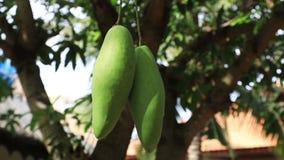 Mangue mûrissant sur l'arbre clips vidéos