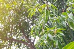Mangue minuscule verte thaïlandaise sur l'arbre photographie stock libre de droits
