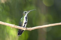 mangue Noir-throated et x28 ; Nigricollis& x29 d'Anthracothorax ; femelle Photographie stock libre de droits