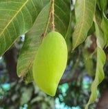 Mangue sur l'arbre Photographie stock libre de droits