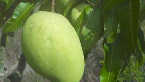Mangue tropicale s'élevant sur l'arbre dans le jardin de fruit Fin vers le haut de fruit de mangue sur des branches d'arbre dans  banque de vidéos