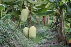 Mangue, une du fruit le plus délicieux photographie stock libre de droits