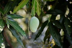 Mangue verte sur l'arbre dans le jardin image libre de droits