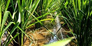 Mangueira da bomba de água no campo do arroz foto de stock royalty free