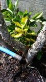 Mangueira que molha uma planta imagens de stock royalty free