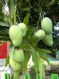 Mangues à l'arbre Photo libre de droits