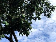 Mangues crues sur l'arbre avec le ciel bleu Photos stock