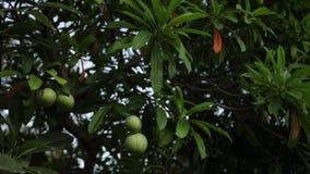 Mangues pendant d'un arbre énorme sur une île tropicale de Bali, Indonésie Mangues au temps de coucher du soleil banque de vidéos