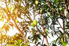 Mangues sur l'arbre, fruits frais pendant des branches, groupe de mangue verte et mûre Photographie stock libre de droits