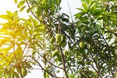 Mangues sur l'arbre, fruits frais pendant des branches, groupe de mangue verte et mûre Photos stock