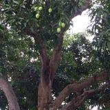 Mangues sur l'arbre le long de Marine Parade Rd Photo stock