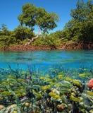 Manguezais e peixes tropicais foto de stock