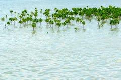 Manguezais Forest Planting para impedir a corrosão do litoral imagens de stock
