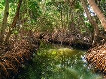 Manguezais na proteção na ilha de Margarita Imagem de Stock