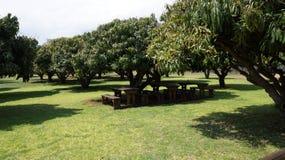 Manguiers verts et sous eux bancs en bois et une table, Afrique du Sud Photographie stock