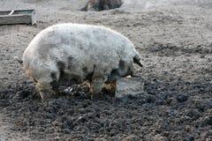 Mangulitsa pig Royalty Free Stock Photography