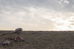 Mangulitsa pig family pasturing on the field Stock Images